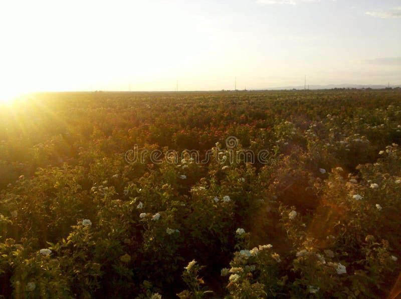 Feld von Rosen bei Sonnenuntergang stockbild