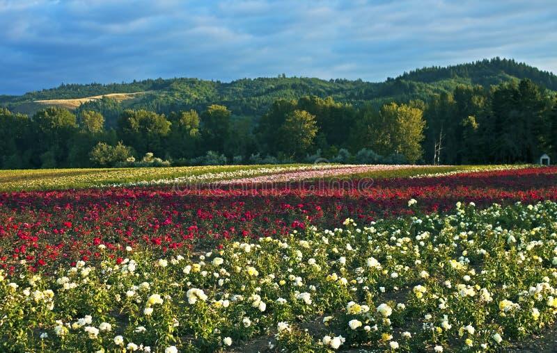 Feld von Rosen, Oregon stockfotografie