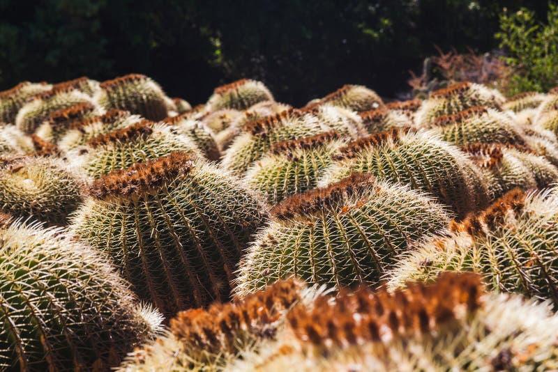 Feld von runden Kaktuspflanzen in Costa Brava Tossa De Mrz lizenzfreies stockbild
