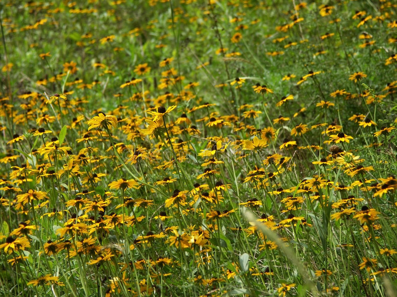 Feld von schwarzem gemustertem Susans stockbild