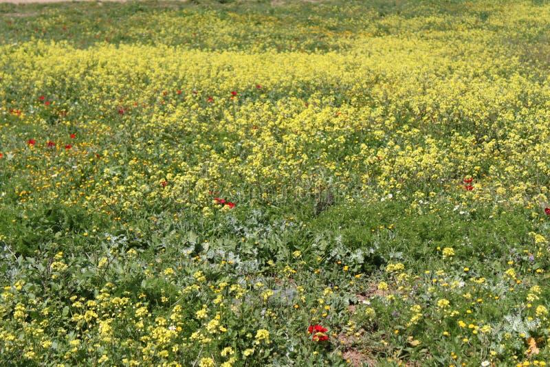 Feld von Sinapis-Blumen lizenzfreies stockbild