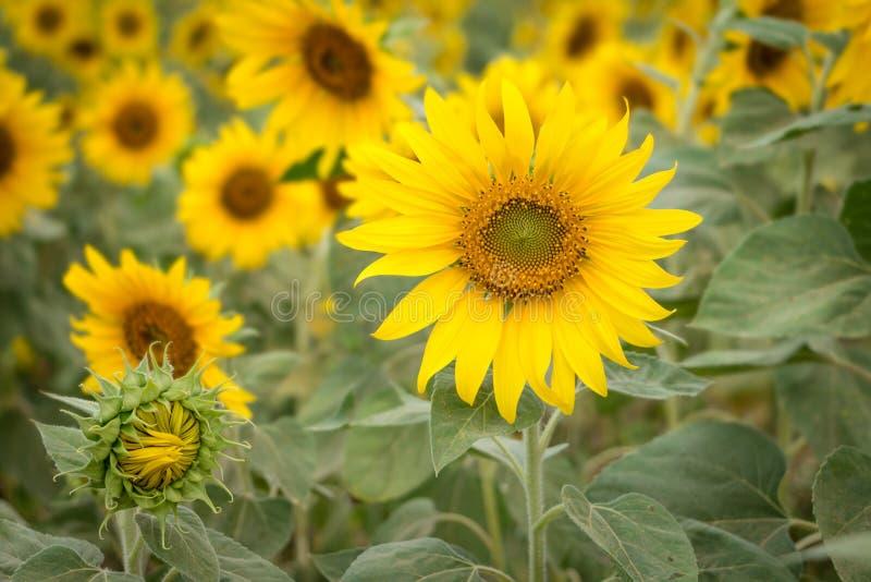 Feld von Sonnenblumen, Abschluss ehrlich von der Sonnenblume lizenzfreies stockbild