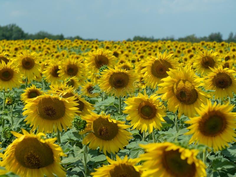 Feld von Sonnenblumen mit den Grünblättern und gelben Köpfen gedreht zur Sonne, Abschluss herauf Ansicht Ländliche Landschaft des lizenzfreies stockbild