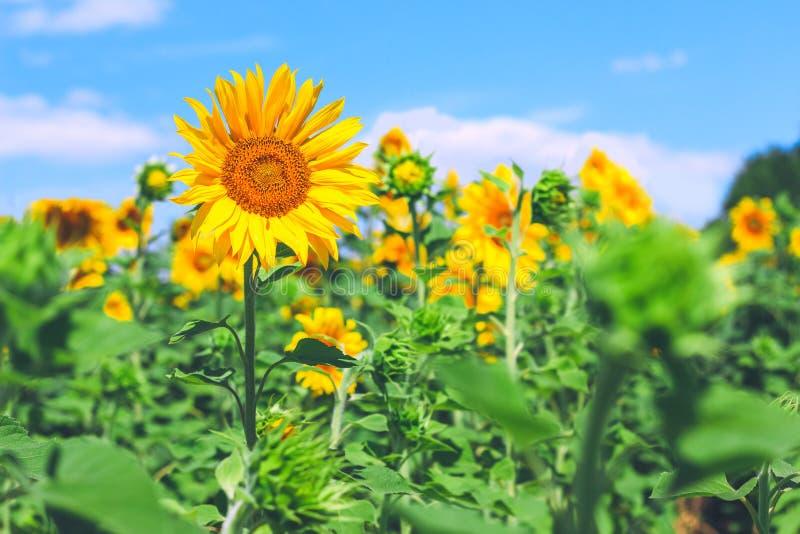 Feld von Sonnenblumen und von blauem Himmel am sonnigen Tag des Sommers Nutzen des Sonnenblumenöles Landwirtschaftliches Geschäft stockfotografie