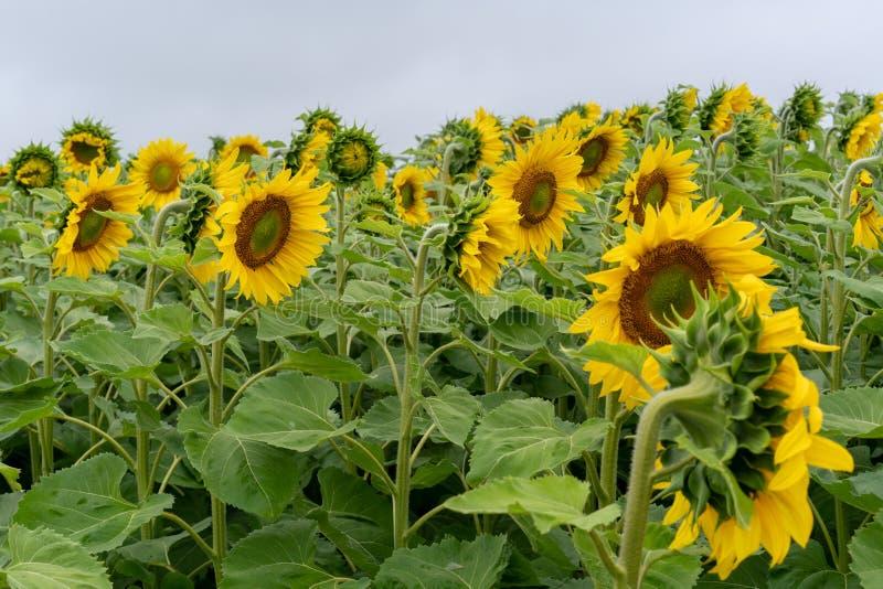 Feld von Sonnenblumen unter dem grauen Himmel stockbilder