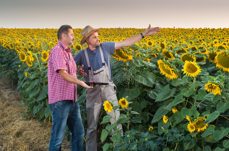 Feld von Sunflowers stockfoto