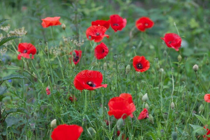 Feld von vibrierenden wilden roten Mohnblumenblumen stockbild