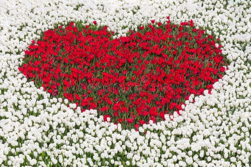 Feld von weißen Tulpen mit Herzen von roten Tulpen lizenzfreie stockfotografie