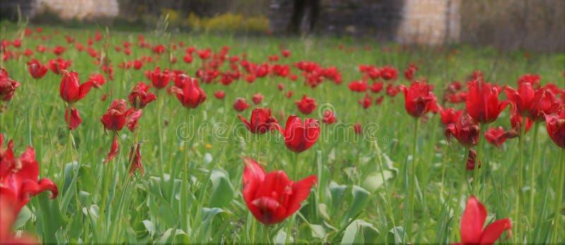 Feld von wilden roten Tulpen lizenzfreie stockfotos