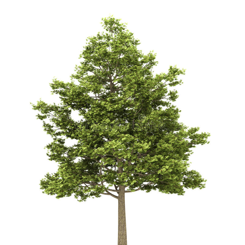 Feldahornholzbaum getrennt auf Weiß vektor abbildung