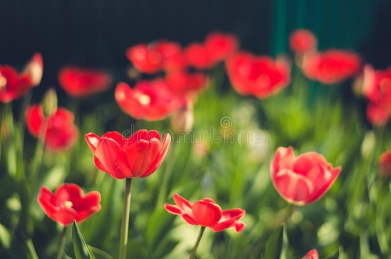 Feldblumentulpe Schöne Naturszene mit blühender Tulpe/Sommerblumen Schöne Wiese Blaues Meer, Himmel u lizenzfreie stockfotos
