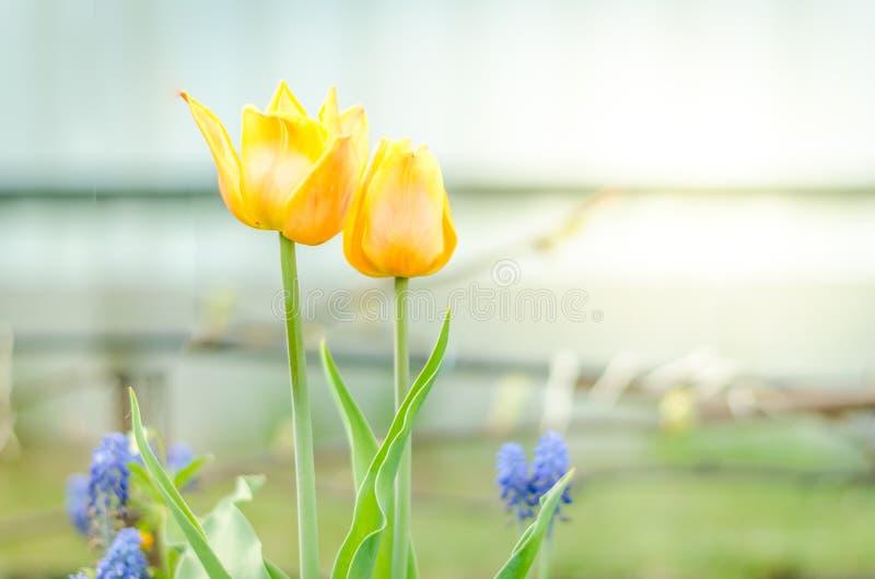 Feldblumentulpen Schöne Naturszene mit blühenden gelben Tulpen entspringen Blumen Schöne Wiese Wiese voll des gelben Löwenzahns stockbilder