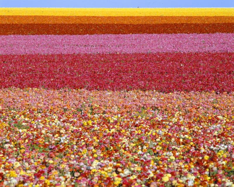 Felder der Ranunculusblumen lizenzfreie stockfotos