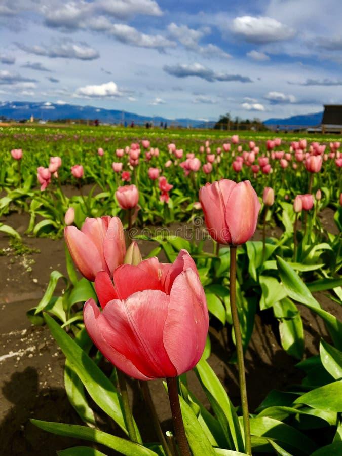 Felder der Tulpen stockbilder