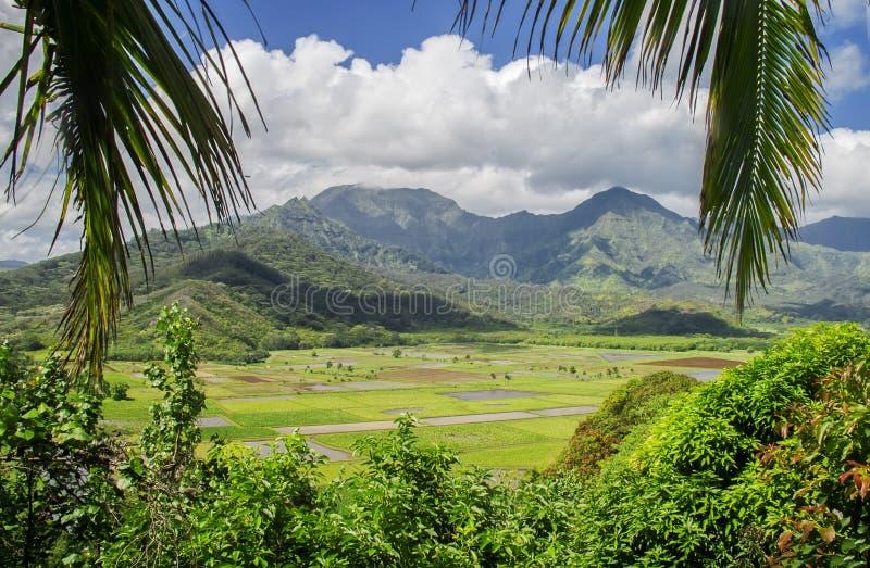 Felder der Wasserbrotwurzel, Hanalei Tal, Kauai, Hawaii lizenzfreies stockbild