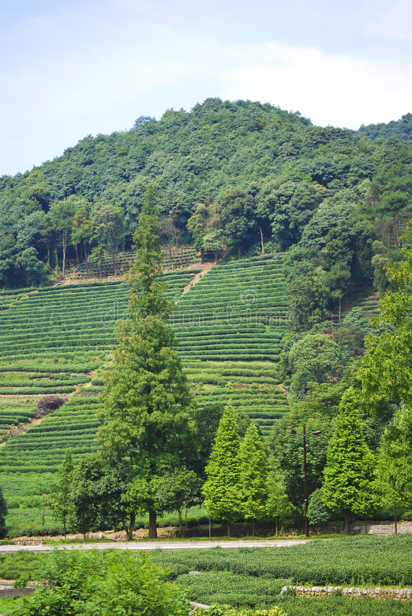 Felder des grünen Tees, China stockfoto