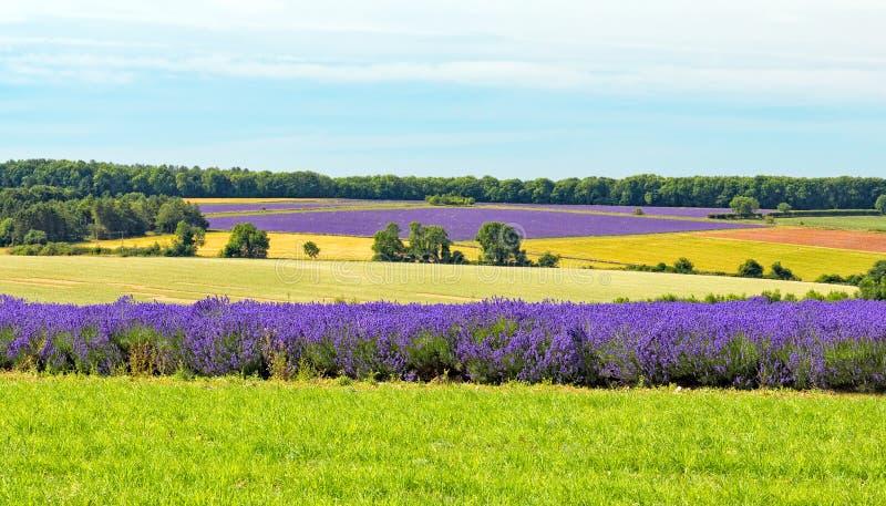 Felder des Lavendels, Worcestershire, England stockbild