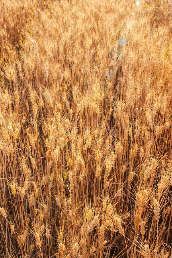 Felder des Weizens am Ende des Sommers völlig reif stockfotografie