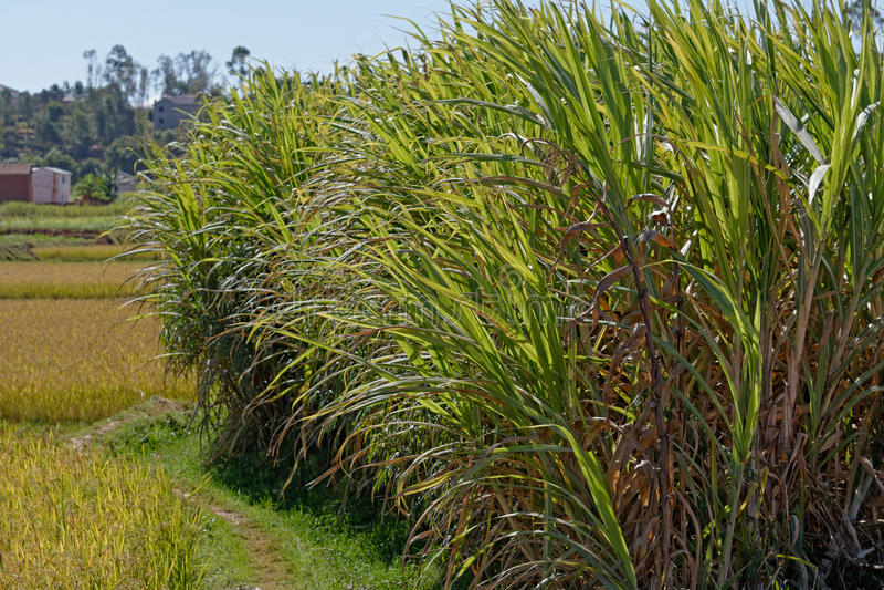 Felder des Zuckerrohrs in Madagaskar lizenzfreie stockfotografie