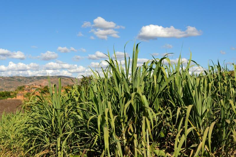 Felder des Zuckerrohrs in Madagaskar lizenzfreie stockbilder