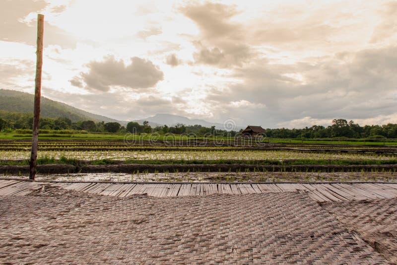 Felder, die anfangen, in der Regenzeit zu wachsen stockfoto