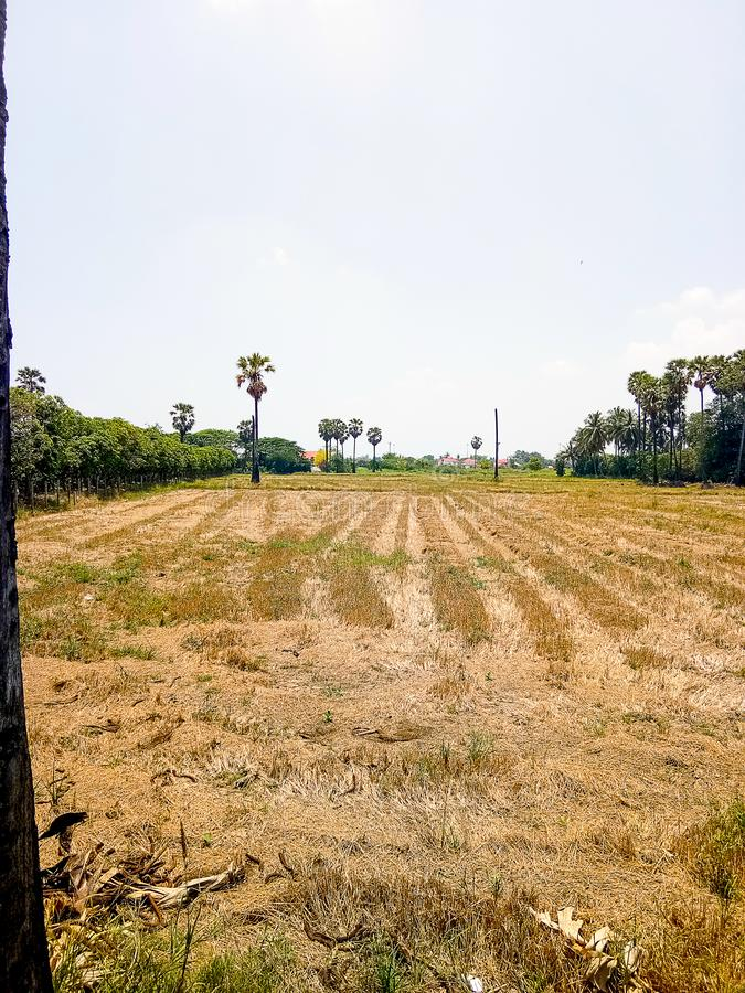 Felder in Thailand haben Arengapalme stockfotos