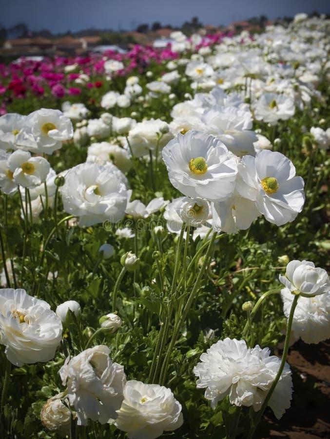 Felder von Blumen, Süd-Kalifornien stockbilder
