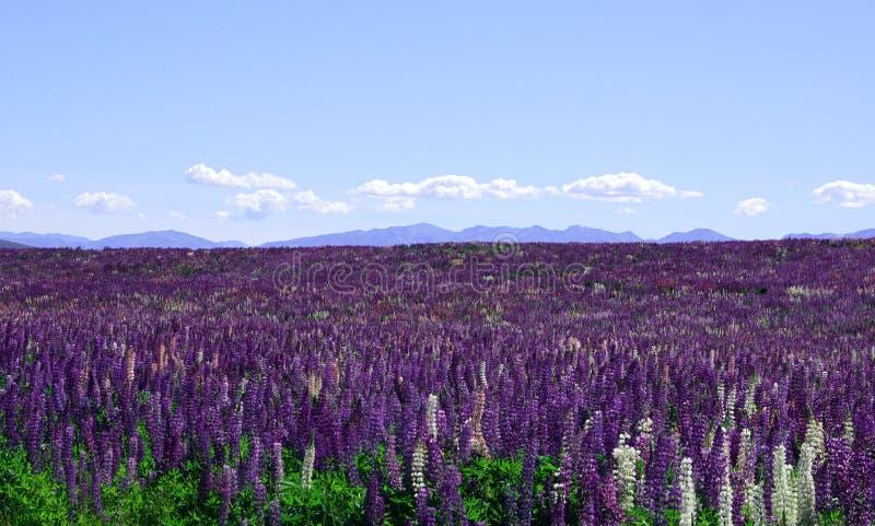 Felder von Lupinenblumen während des Frühlinges mit Bergen im Hintergrund lizenzfreies stockbild