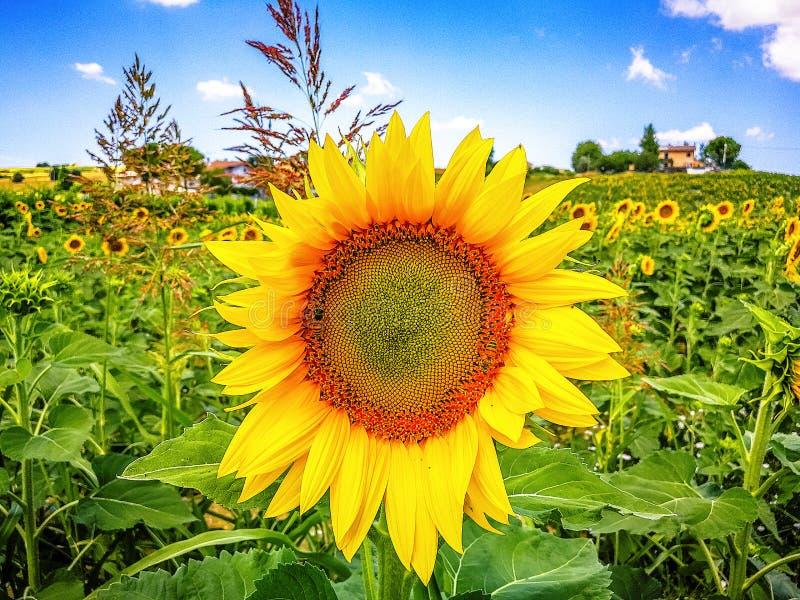 Felder von Sonnenblumen auf den Hügeln von Marken-Region auf dem adriatischen Meer, Italien lizenzfreies stockfoto