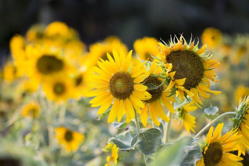 Felder von Sonnenblumen sind jetzt ein Common stockbild