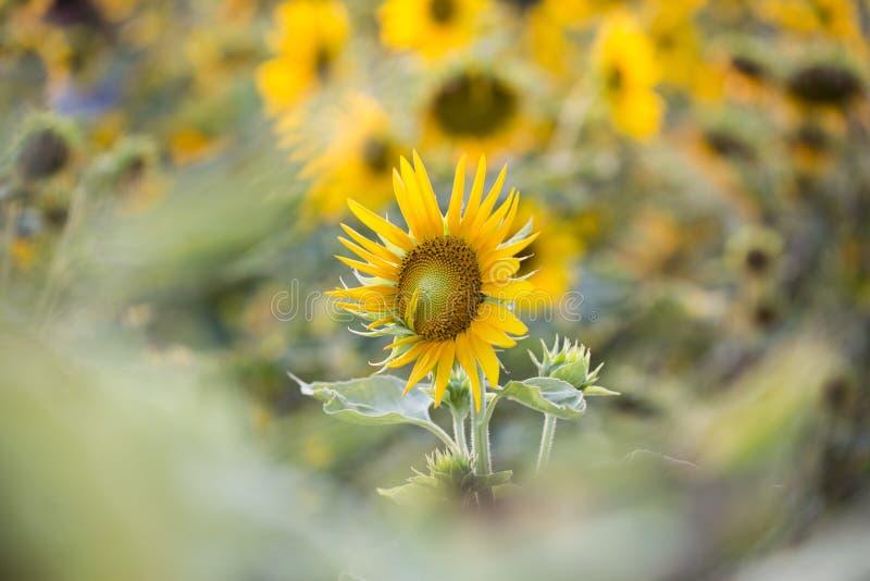 Felder von Sonnenblumen sind jetzt ein Common lizenzfreies stockbild
