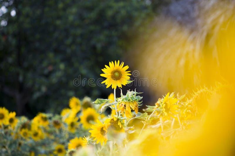 Felder von Sonnenblumen sind jetzt ein Common stockfotos