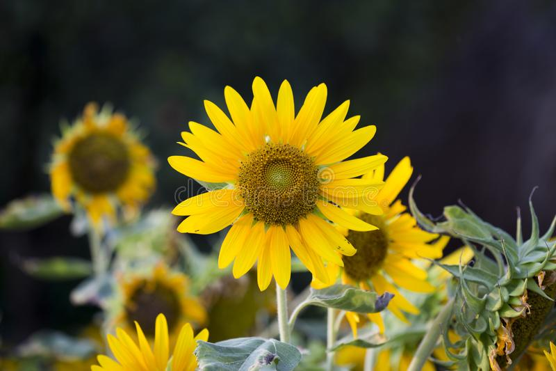Felder von Sonnenblumen sind jetzt ein Common stockbilder