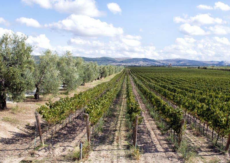 Felder von Weinreben trennten sich von der Straße durch Olivenbäume bei Tomaresca Tenuta Bocca di Lupo stockfotografie