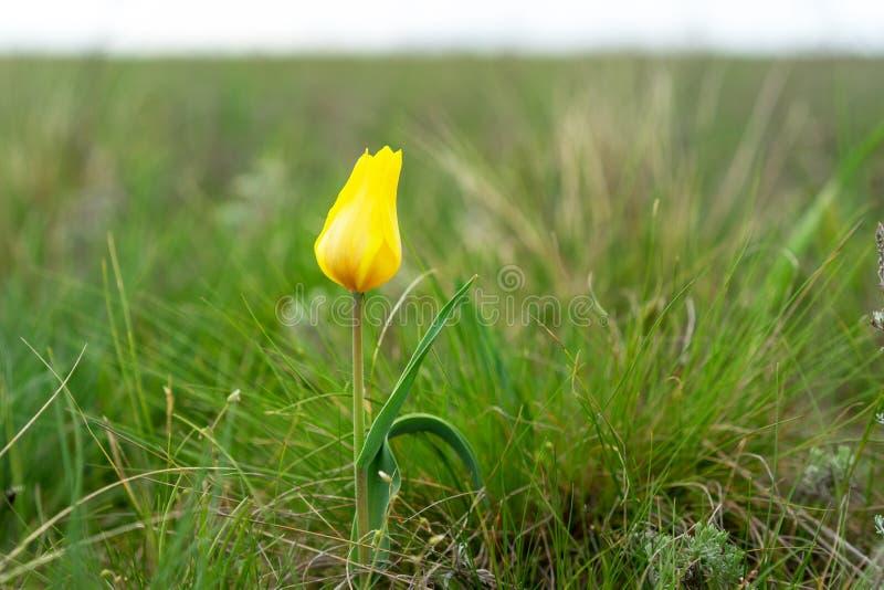 Felder von wilden Steppentulpen auf einem bewölkten Morgen gelber wilder Tulpen Tulip Schrenk-Frühling stockfotografie