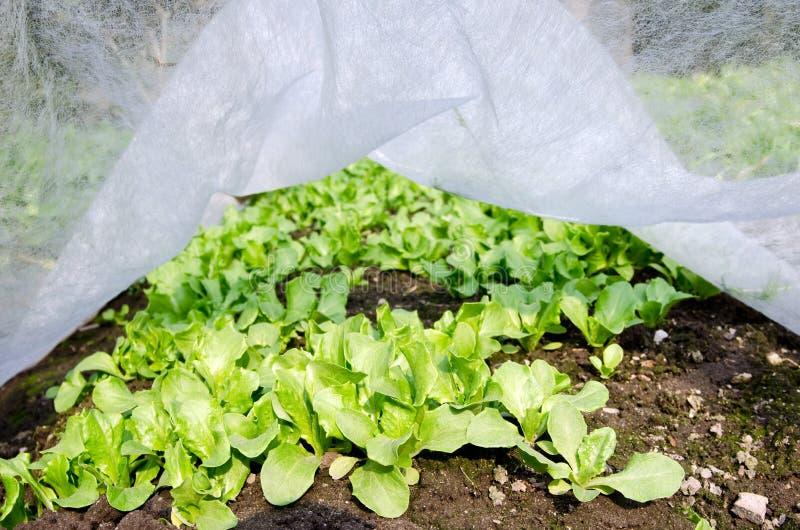 Feldkopfsalat stockfotografie