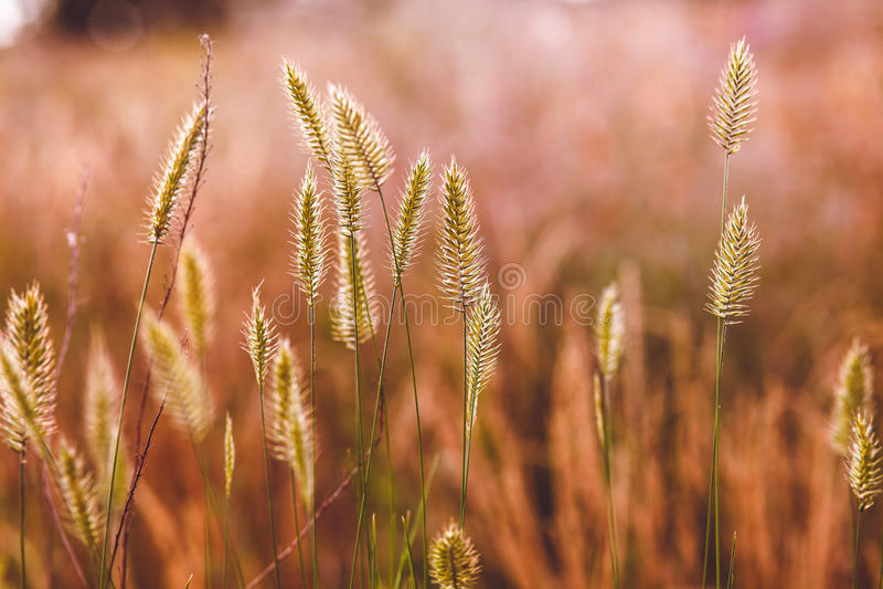 Feldlandwirtschafts-Natursommer des Weizens wilder stockbild