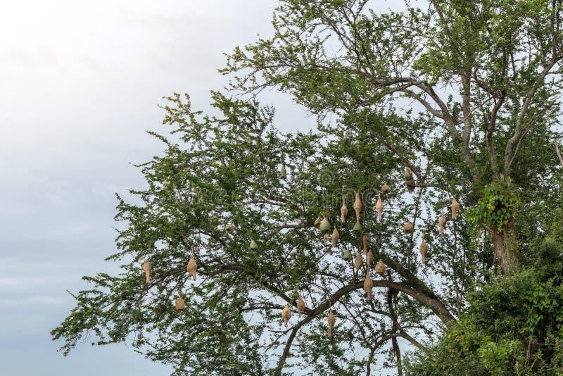 Feldlerchennester mit vielen Tamarindenbaumasten stockfotos