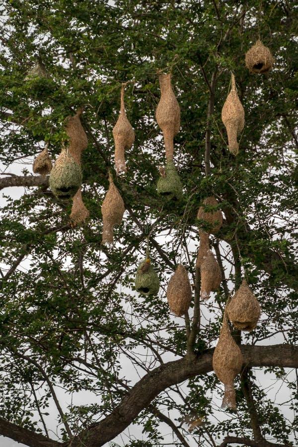 Feldlerchennester mit vielen Tamarindenbaumasten stockfotografie
