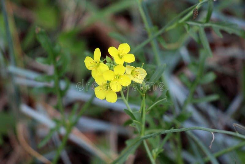 Feldsenf oder Kohl rapa blühende Pflanze mit Bündel völlig offenen blühenden hellen gelben Blumen umgeben mit dunkelgrünem stockfotos