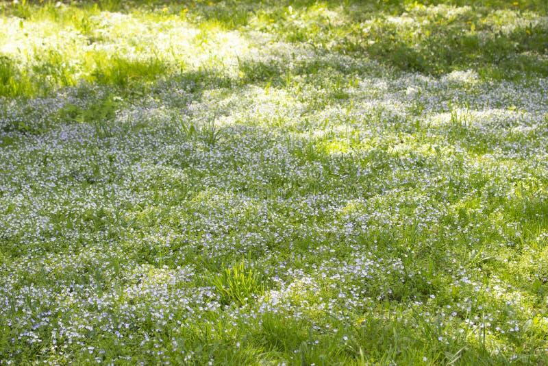Feldwiese von blühenden Myosotisvergissmeinnichten, Hintergrundtapete Grüne Wiese mit blühenden kleinen blauen Blumen Vergessen-i lizenzfreies stockfoto