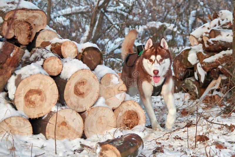 Felices rodajes del husky siberiano imagenes de archivo