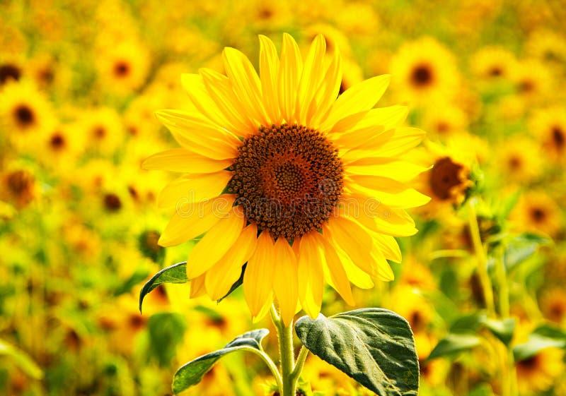Felicidad Girasol Felicidad del girasol imagen de archivo