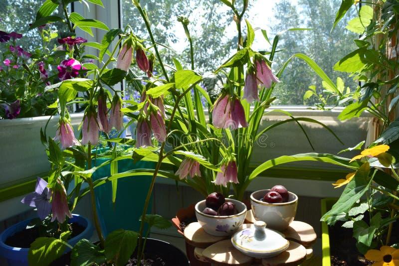 Felik frukost med körsbär, i att blomma sommarträdgården Gullig dishware under rosa blommor av klockblommapunctataen Fantasiplats fotografering för bildbyråer