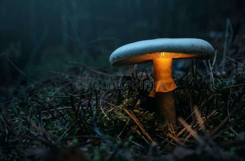 Felik glödande champinjon i skogen fotografering för bildbyråer