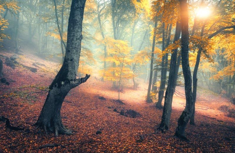 Felik skog i dimma Nedgångträn Förtrollad höstskog i dimma royaltyfria bilder