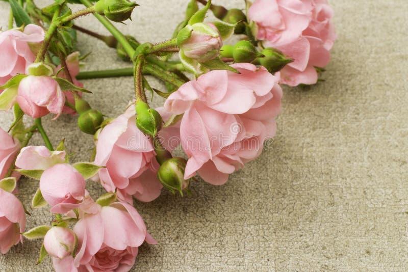 Felika rosor på kanfas arkivfoton