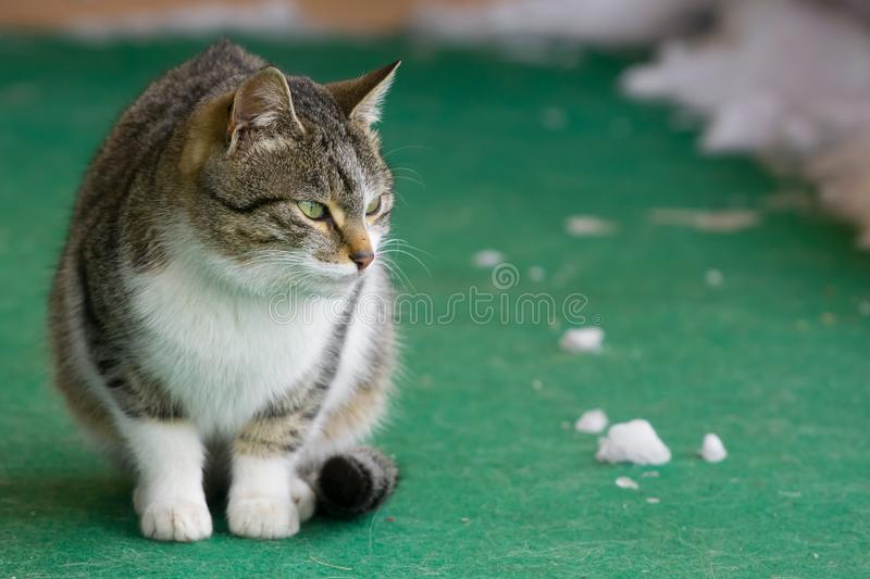 Feline cat outside sitting on green carpet with snow on it. A feline cat outside sitting on green carpet with snow on it stock images