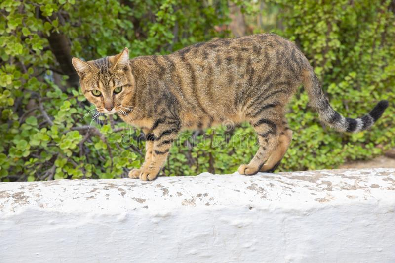 Feline cat standing over white wall and looking at. Feline cat standing and looking at over white wall in exterior garden stock photo