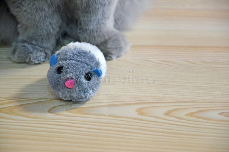 Feline fluffy paws close-up on a wooden floor. a gray long-haired cat and little fluffy toy mouse.  royalty free stock image